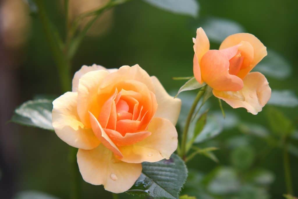 yellow rose in bloom image