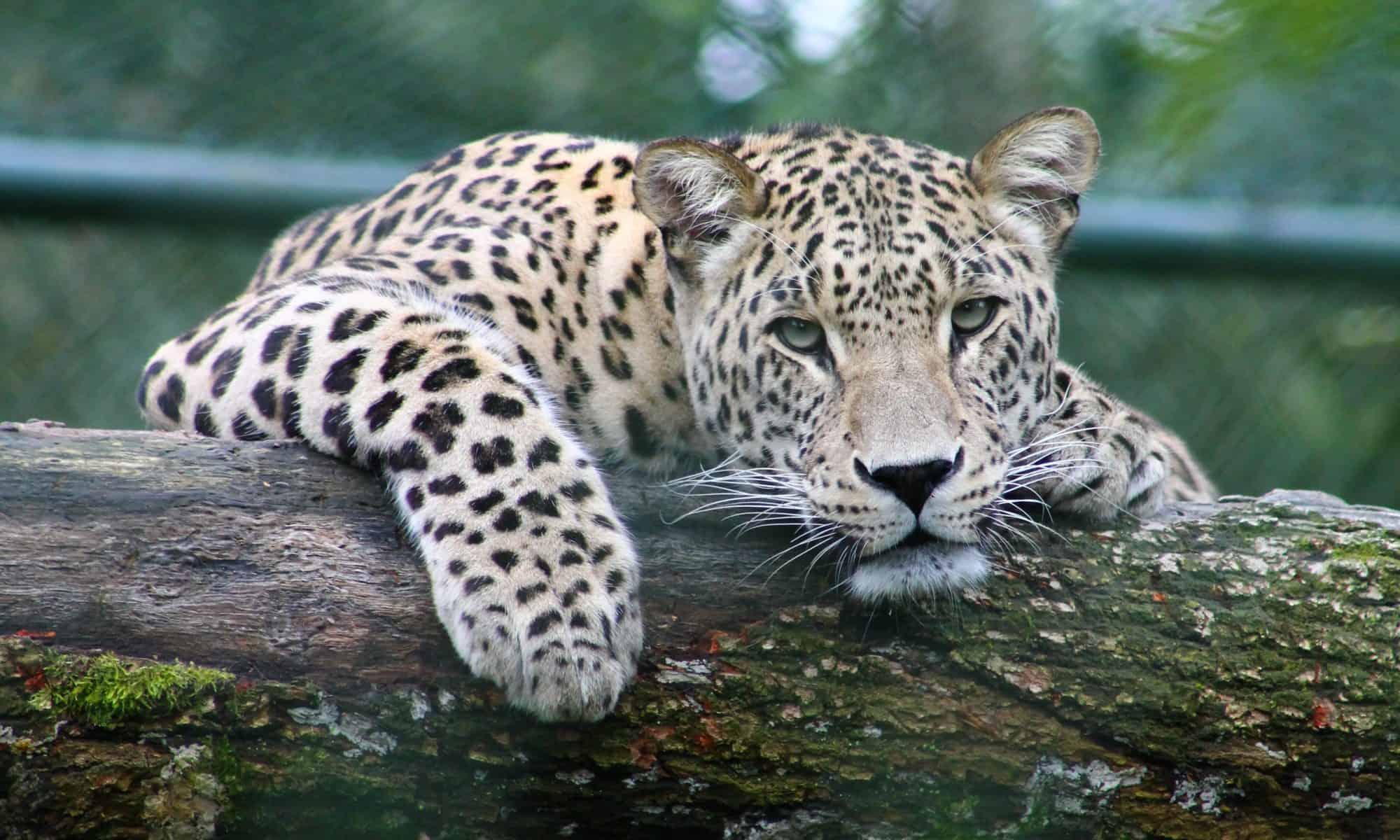 a leopard on a tree branch